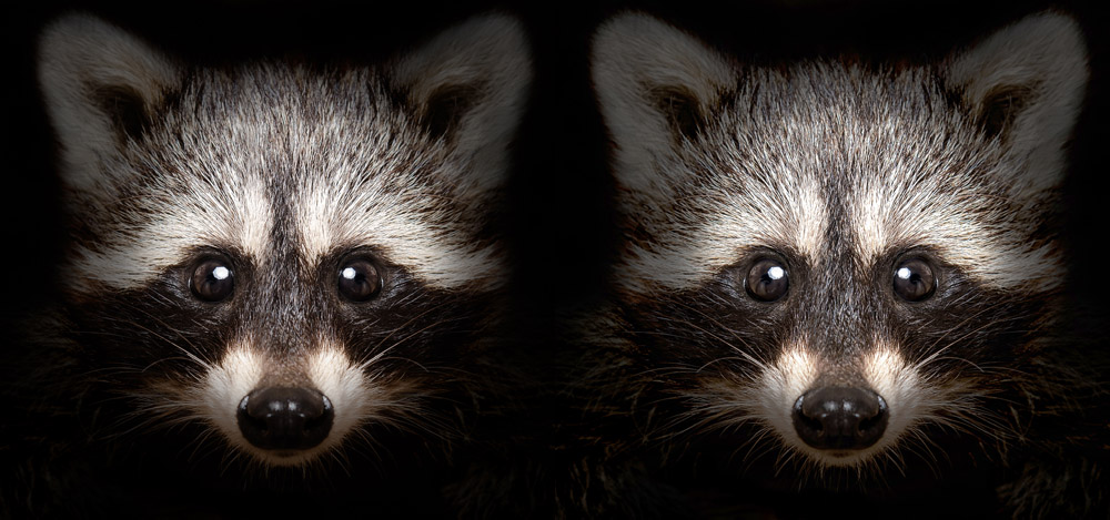 raccoon before and after